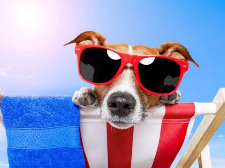 summer-dog